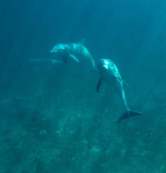 Bottlenose dolphins 4 (dig)-Grand Bahama Island