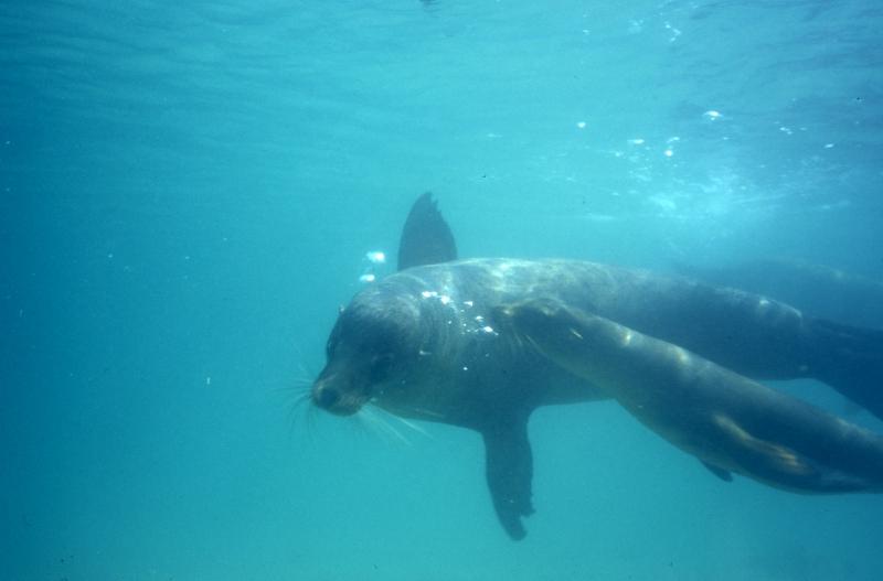 Galapagos sea lion & baby-Galapagos