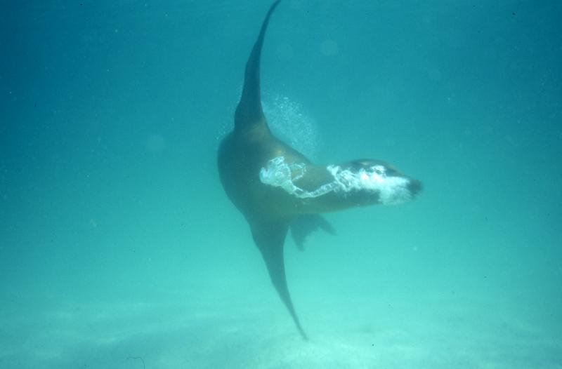 Galapagos sea lion swimming-Isla San Cristobal