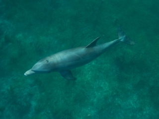 Bottlenose dolphin 2 (dig)-Grand Bahama Island