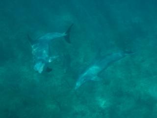 Bottlenose dolphins 2 (dig)-Grand Bahama Island
