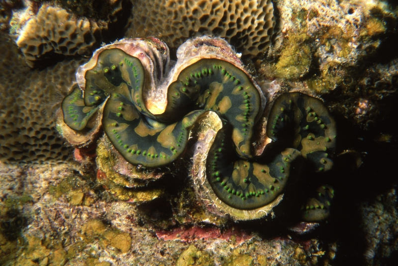 Burrowing clam shell-Surin Islands