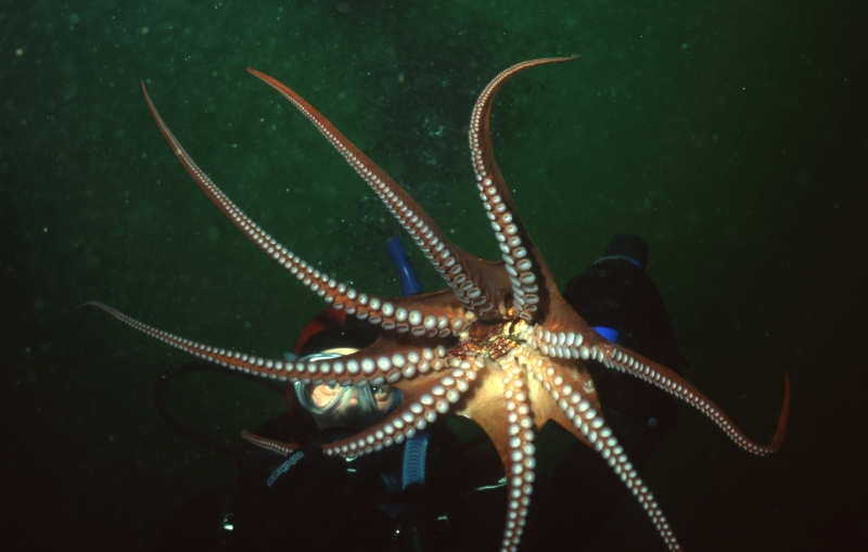 Giant Pacific octopus-Saanich Inlet