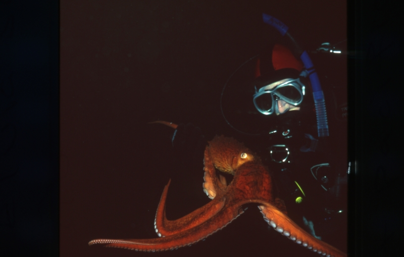 Giant Pacific octopus & diver-Vancouver Island