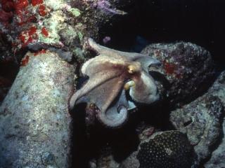Caribbean reef octopus-Aruba