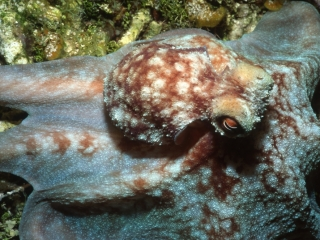 Caribbean reef octopus-Little Cayman Island