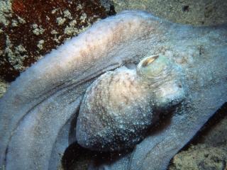 Caribbean reef octopus-St. Croix
