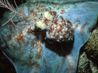 Caribbean reef octopus by soft coral-Little Cayman Island