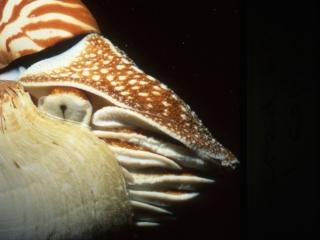 Chambered nautilus-Palau