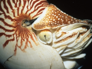 Chambered nautilus-Palau, Micronesia