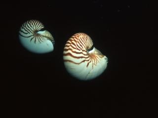 Chambered nautiluses-Palau