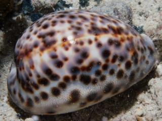 Cowry-Cypraea tigris (dig)-Fiji