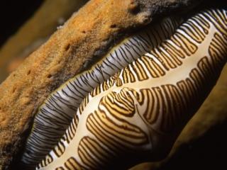 Fingerprint cyphoma snail-Saba