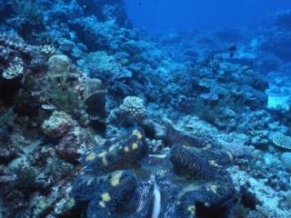 Giant tridacna clam-Peleliu, Palau