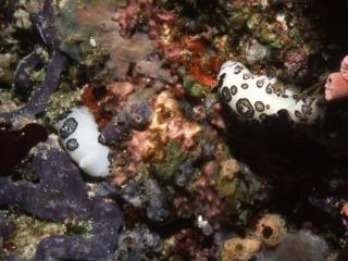 Jokunna funabris nudibranchs-Maldives