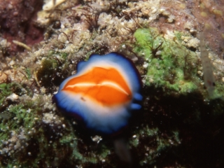 Kurumra nudibranch-Maldives