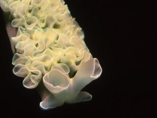 Lettuce leaf slug with external gills-St. Kitts