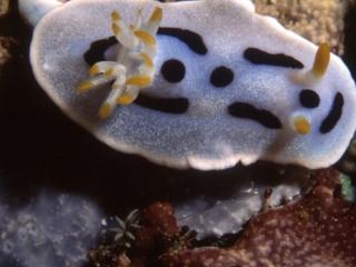 Nudibranch-Manado