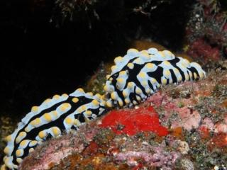 Phyllidia varicosa nudibranchs (dig)-Kona, Hawaii