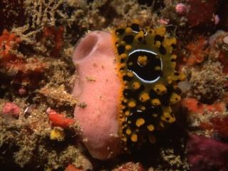 Phyllidiid nudibranch on tunicate-Fiji
