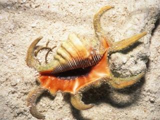 Spider shell mollusc-Coral Sea, Australia