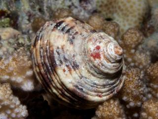 Sundial gastropod shell (dig)-Fiji