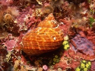 True tupil snail-Grand Cayman Island