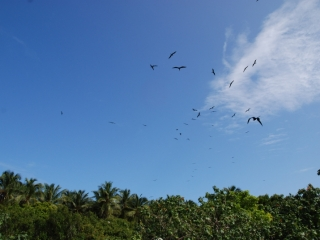 Frigate birds (dig)-Half Moon Caye, Belize