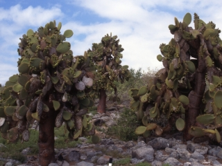 Prickly pear cactus-Galapagos Islands