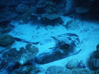 Blotched stingray with remoras-Palau, Micronesia