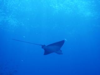 Eagle ray-Wolf Island, Galapagos