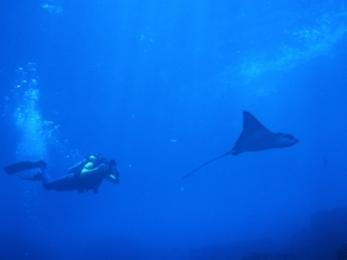 Eagle ray & diver-Wolf Island, Galapagos