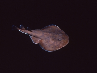 Lesser electric ray-Dominica