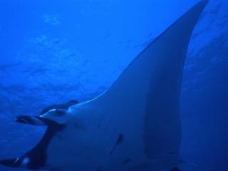 Manta ray-Cocos Island