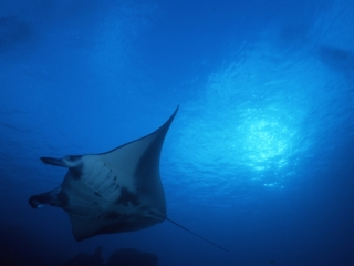 Manta ray-Mi'l Channel, Yap