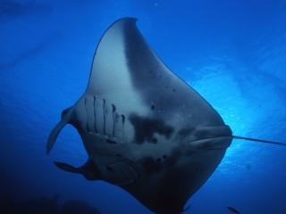 Manta ray-Yap