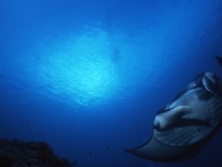 Manta ray approaching-Yap