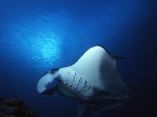 Manta ray at cleaning station-Yap, Micronesia