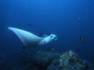Manta ray by Yap stone money