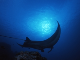 Manta ray & sun over pectoral fin-Yap