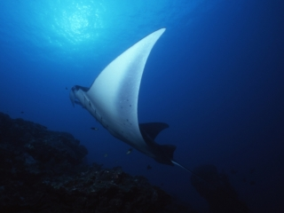 Manta ray swooping up from cleaning station-Yap