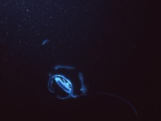 Manta ray with open mouth-Kona, Hawaii