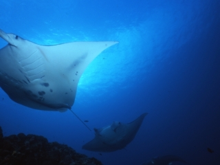Manta rays at cleaning station-Yap