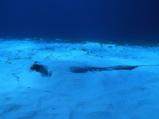 Southern stingray buried in sand-San Andreas
