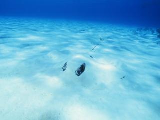 Southern stingray in sand-Stingray City, Grand Cayman