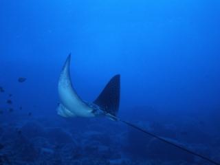 Spotted eagle ray-Kona, Hawaii