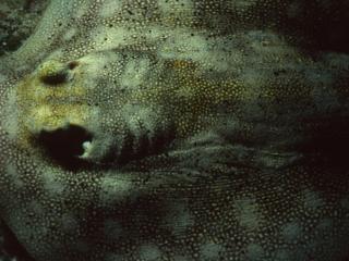 Yellow stingray dorsal surface-Exumas