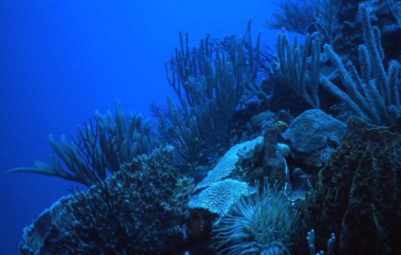 Corals-Saba