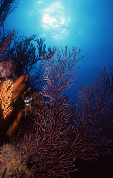 Lace coral scenic-Bequia