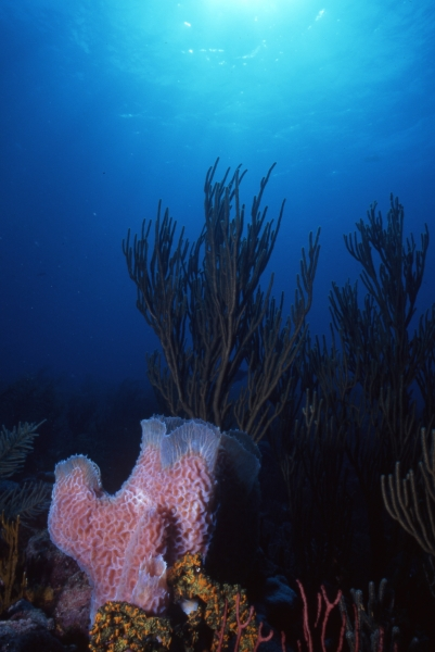 Scenic with soft coral and sponges-Bequia
